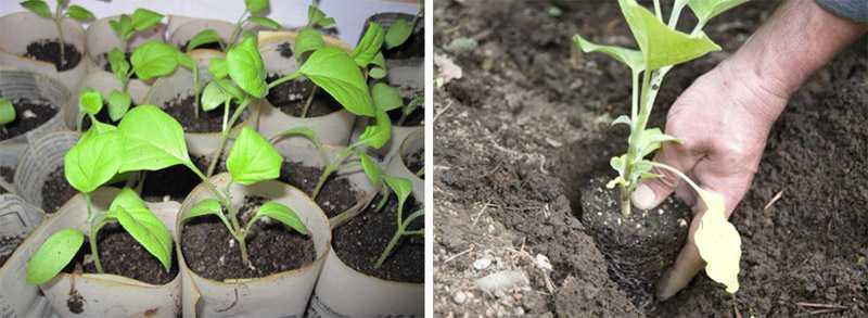 Когда сеять рассаду баклажан в сибири 15