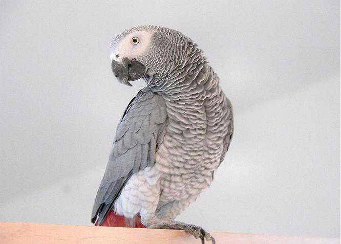 Программа попугая обучение разговору